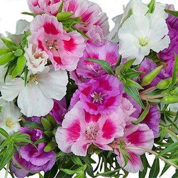 Seeds Clarkia Flower Seeds