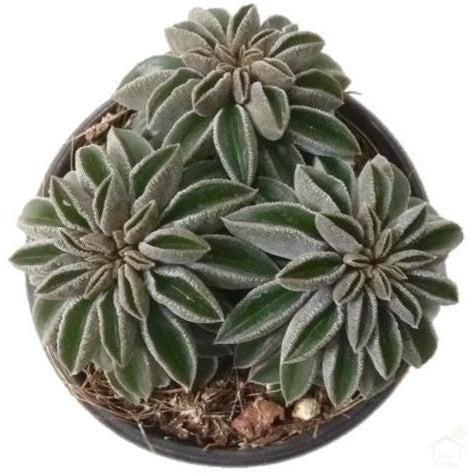 Succulent Peperomia Wolfgang Succulent