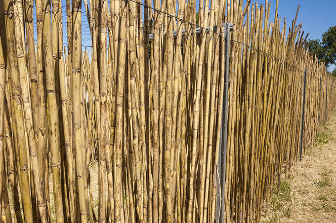 arundo donax bassoon cane in France