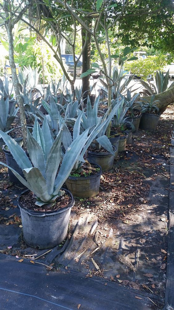 Agave-assorted varieties available