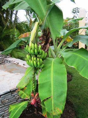 Banana-hardy and tropical available