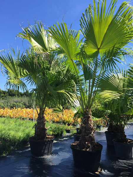 Chinese Fan Palm Tree