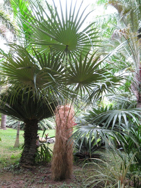 Old Man Palm Tree