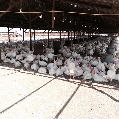 Turkey Farm Photo