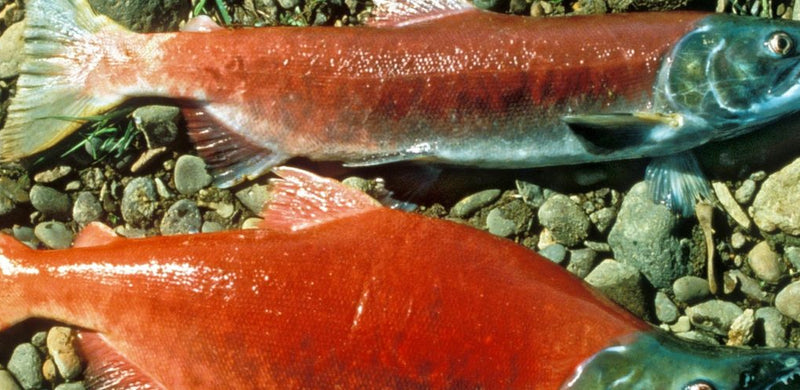 Astaxanthin: The Age-Busting Antioxidant