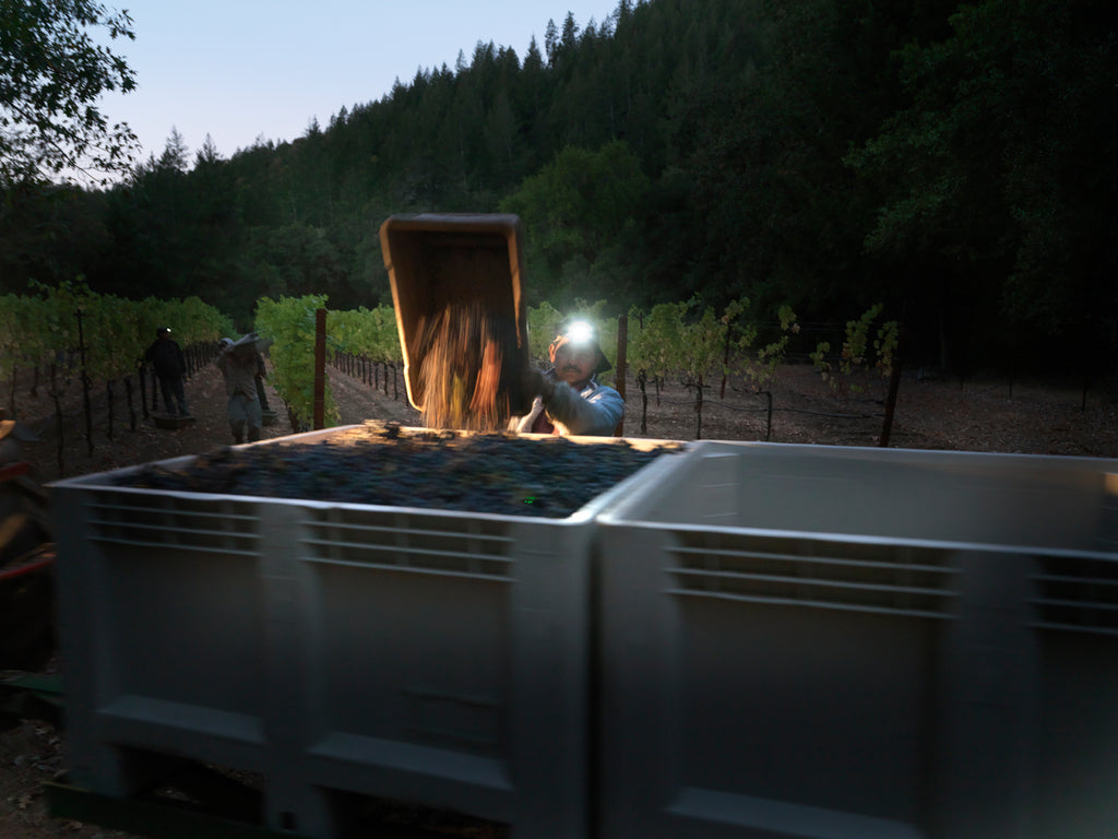 Grapes being dumped during harvest