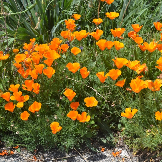 Flower Seed Grow Kit - California Poppy