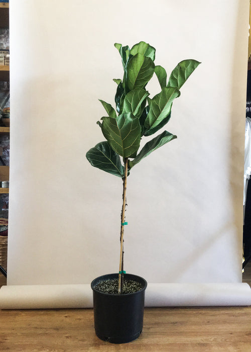 "10"" Fiddle Leaf Fig - 1 Stake"