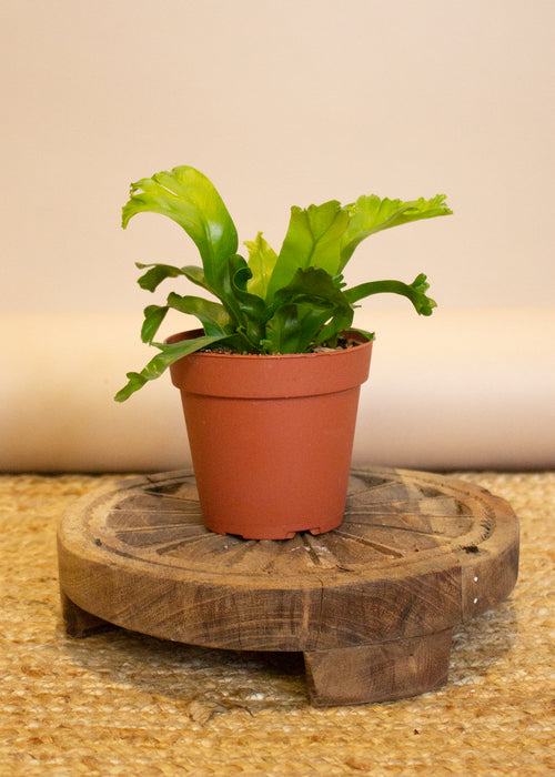 "4"" Birds Nest Fern"