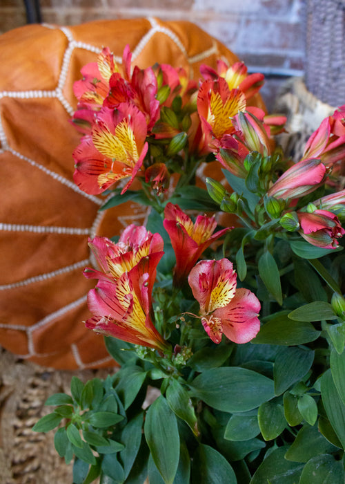 "8"" Alstroemeria Inca Safari - Orange"