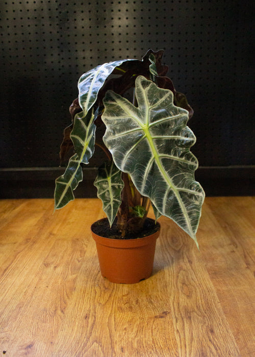 "6"" African Mask Plant - Alocasia Amazonica"