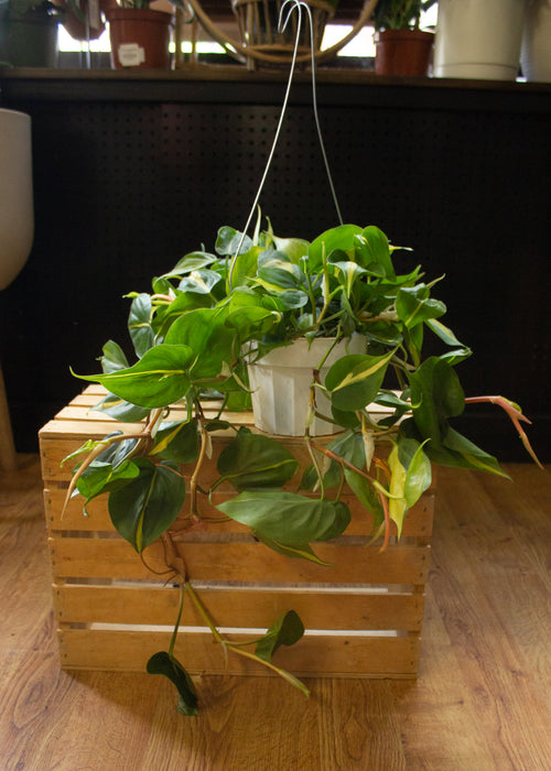 "6"" Hanging Brasil Philodendron"