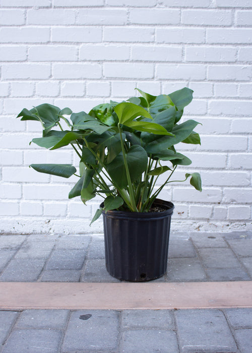 "10"" Philodendron Split Leaf - Monstera"