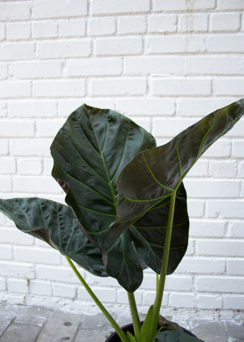 "10"" Alocasia Regal Shields"