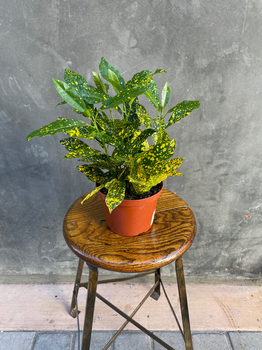 "6"" Croton - Gold Dust"