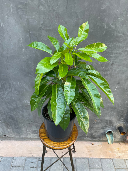 "10"" Umbrella Tree - Scheffeleria - Alpine Jr"