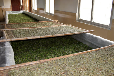 Visit to Fuding tea factory