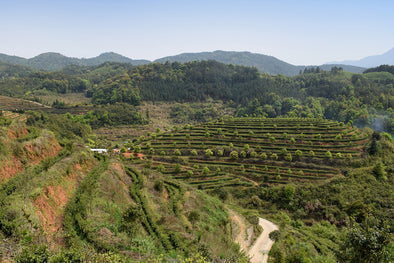 Wengyangcun Tea Garden near Fu'an City