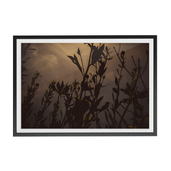Californica (Dawn) photographic print