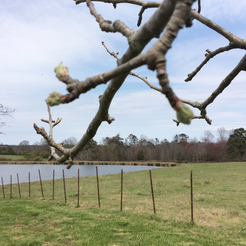 Apple tree buds signal the start of spring in the countryside