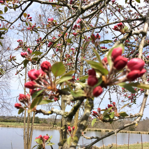 Crab apple trees are the first bloomers of the spring around here.