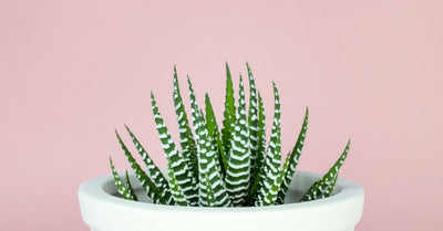 Winter Care Tips For Succulents and Cacti