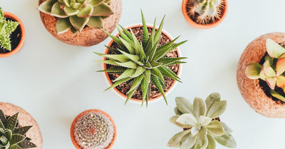 Winter to Spring Cactus and Succulent Care Tips