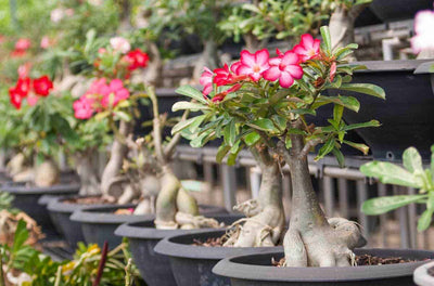 Adenium obesum....all you need to know!