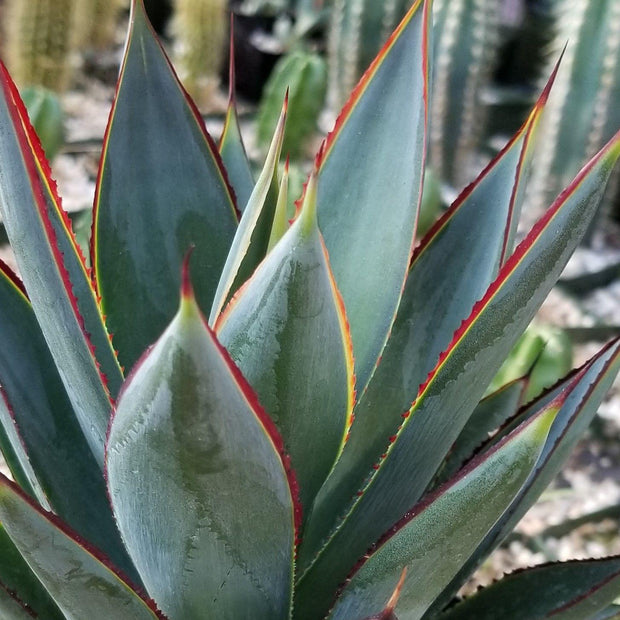 Agave blue glow - Planet Desert