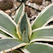 Agave applanata cream spike - Planet Desert