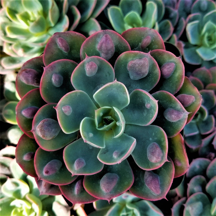 Echeveria Rain Drops - Planet Desert