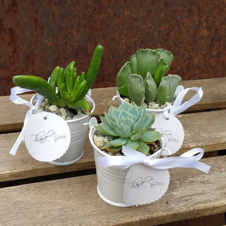 6 mini succulents in tin pails set party favor arrangements white - Planet Desert