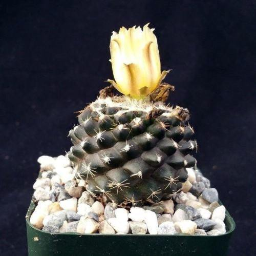 Copiapoa tenuissima - Planet Desert