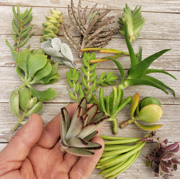 50 Assorted Succulents Cuttings - Planet Desert