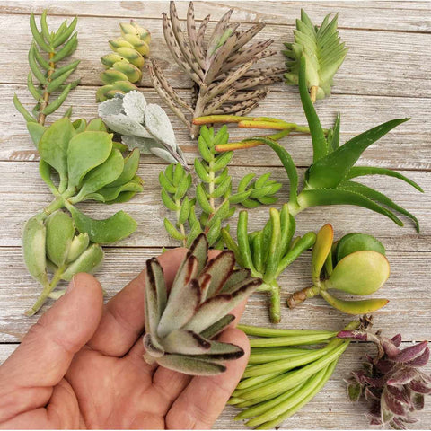 20 Assorted Succulents Cuttings