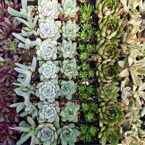 "9- 2.25"" assorted succulents party wedding favors"