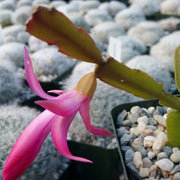 Schlumbergera zygocactus christmas cactus 3 rooted cuttings - Planet Desert