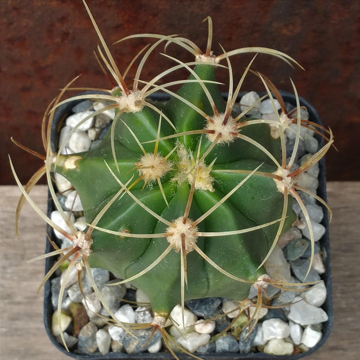 Ferocactus glaucescens blue barrel - Planet Desert