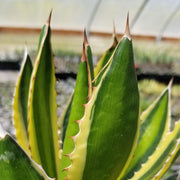 Agave Lophanta Quadricolor Large - Planet Desert