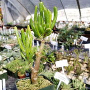 Crassula ovata jade ET fingers old grown bonsai - Planet Desert