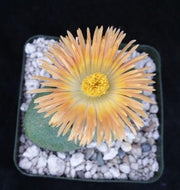 Pleiospilos nelii mesembs split rock - Planet Desert