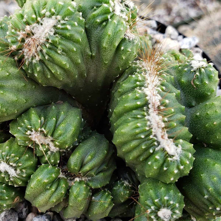 Cereus forbesii crest Ming Thing - Planet Desert