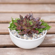 Echeveria black prince diy kit - Planet Desert