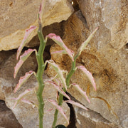 Pedilanthus tithymaloides variegated - Planet Desert