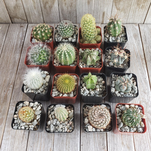 2 inch assorted cactus 64 pack