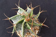 Astrophytum ornatum - Planet Desert