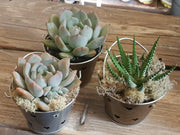 "24 - 3"" assorted succulents for party / wedding favors or arrangements in heart pail flower pots - silver - Planet Desert"