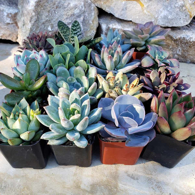 "9- 2.25"" assorted succulents party wedding favors - Planet Desert"