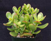Crassula ovata jade dollar tree money plant - Planet Desert