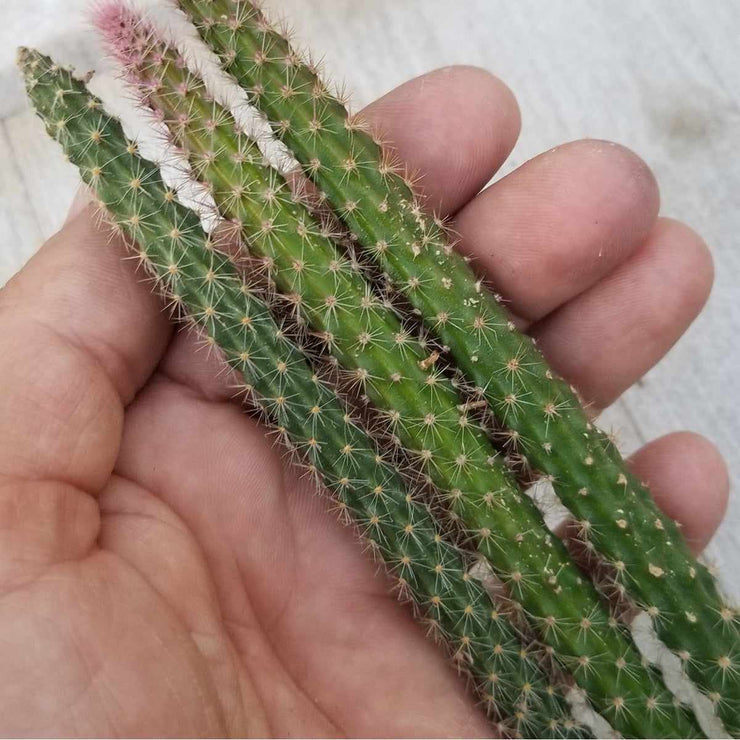 Disocactus flageliformis rat 3 Cuttings - Planet Desert